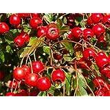 Hawthorn Berries, Whole - Wildcrafted - Crataegus oxyacantha (454g = One Pound) Brand: Herbies Herbs