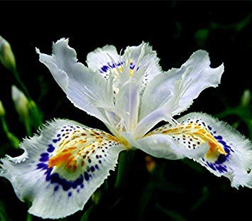 - Japanese Iris Japonica Flowers Seeds 100PCS White Iris Orchid seeds Japanese