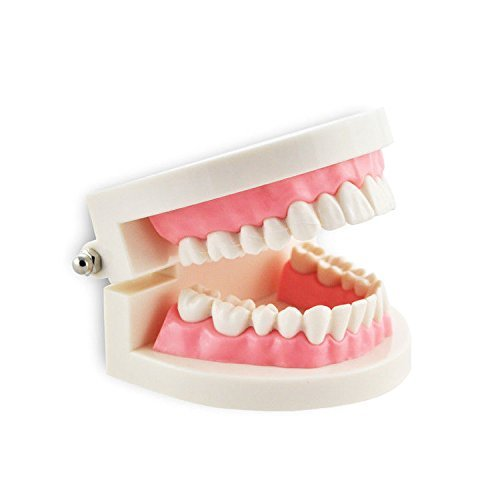 Halloween Decoration Teeth Model,Dental Teaching Study Standard Typodont Demonstration Orthodontics Small for $<!--$12.99-->