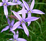 ANVIN Seeds Package: Germination Seeds PLATFIRM-Isotoma Axillaris ~ Laurentia Star ~ Pink Star Flower ~ 30 Seeds ~