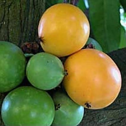 Amazon com : ~GOURKA~ Garcinia Xanthochymus FRUIT TREE LIVE