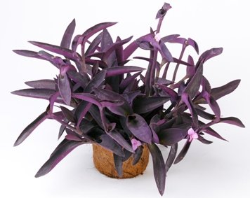 (Purple Heart Plant - Setcreasea - Indoors or Out - Easy - 4