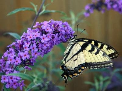Black Knight Butterfly Bush - 3 Gallon