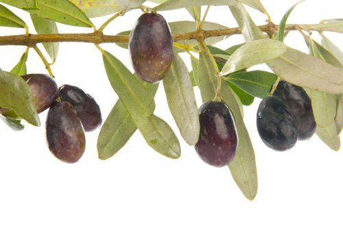 Manzanilla Olive Tree Live Plant NO SHIPPING TO CA, AZ, AK, HI, OR or WA PER YOUR STATE LAWS by Martha's -