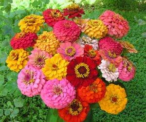 Amazoncom Seeds and Things 400 Pumila Zinnia Flower BULK