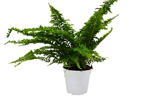 "Cotton Candy Fern / 4"" Pot/Live Plant/House Plant/Free Care Guide"