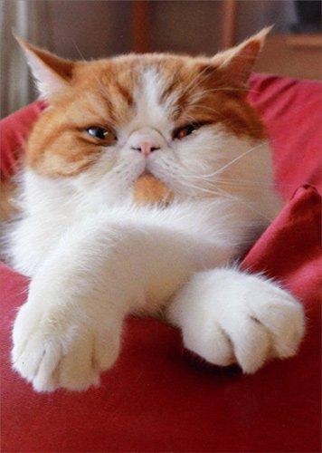 Amazon Cat With Crossed Paws Avanti Funny Birthday Card