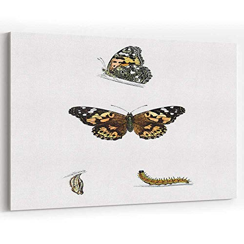 Painted Lady Hand Coloured Engraving Canvas Prints Wall Art Modern Wall Decor/Home Decoration ()