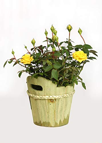(Live Mini Yellow Rose Bush with Wooden Green Pail - 4 Inch Indoor Plant )