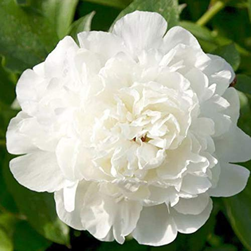 (1 Bulbs 'Finola' Double Tulip Flower Bulbs 'Peony Tulips' Fragrant Spring May Flowers)