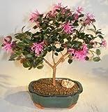 Flowering Chinese Fringe Bonsai Tree loropetalum chinensis