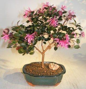 Flowering Chinese Fringe Bonsai Tree loropetalum chinensis by Bonsai Boy