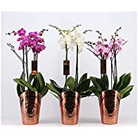 Orquidea phalaenopsis natural 4 tallos maceta 17cm - Verdecora