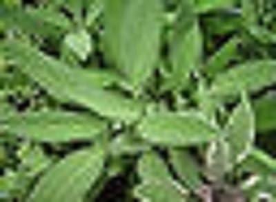 Savory Sage Perennial Herb Starter Plant