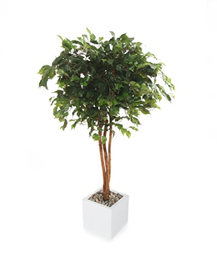 Weeping Ficus Tree - 6