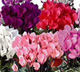 Grow your own Spectacular Cyclamen Plants from Fresh Bulbs, Easy to Grow and to Care for.. Great Indoor Plant