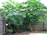 *Seeds and Things 10 + Castor Bean Seeds KILL MOLES, Like Bamboo Very Tropical