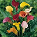 Calla Lily Collection - 5 Different Calla Lily Bulbs in One Pack