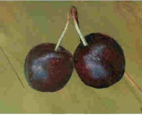 Dwarf Sweet Bush Cherry tree fruit quick shrub edible berry LIVE PLANT