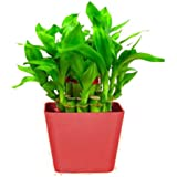 TrustBasket Lucky Bamboo with Squre Red Planter