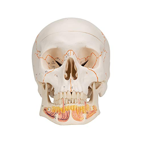 Anatomical Classic Skull w/Opened Lower Jaw