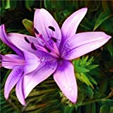 Go Garden Rare Lily Potted Not Lily Bulbs It is Bonsai Lilum Flower Outdoor Perennial Pleasant Fragrance Plant for Home & Garden 300 Pcs: 23
