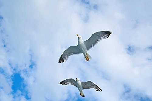 Quality Prints - Laminated 36x24 Vibrant Durable Photo Poster - Seagull Bird Gulls Day Birds Clouds Blue Nature Background Beautiful Gull Bird Fly Animal Sky Landscape Freedom Loves Nature to (Sea Of Love Fly To The Sky)