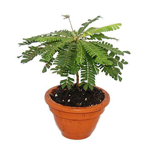 2er Set Biophytum Sensitivum - South Sea Palm - 9cm Tontopf exotenherz
