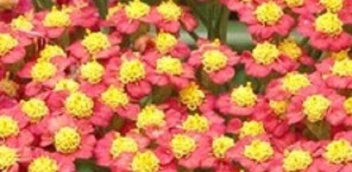 Achillea Feuerland (Sent In 9cm Pots) Hot Plant Company