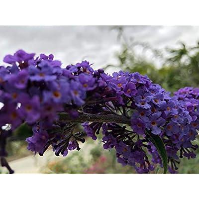 P009X03. 3 Plants of Butterfly Bush Sky Blue Liliac : Garden & Outdoor