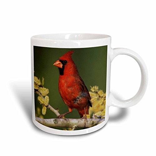 3dRose Northern Cardinal Bird, Lake Corpus Christi Texas, Ceramic Mug, - Christi Outlets In Corpus
