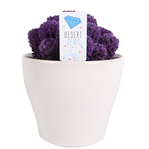 (Costa Farms, Premium Live Indoor Desert Gems Purple Cacti, Tabletop Plant, White Gloss Euro Ceramic Decorator Pot, Shipped Fresh From Our Farm, Excellent Gift)