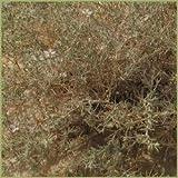 BHUMI AMLA Phyllanthus Niruri BHUMIAMLA Country Goose Berry WHOLE - 250g