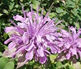 50+Purple Lemon Scented Monarda Bee Balm Flower Seeds / Deer...