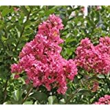 Hopi Pink Crapemyrtle Tree - Live Plant - Shipped Over 1 Foot Tall