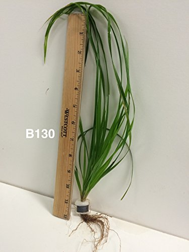 Cyperus helferi - Bundle Plant B130 - Live Aquatic Plant Online - Buy 2 Gets 1 Free by Jayco