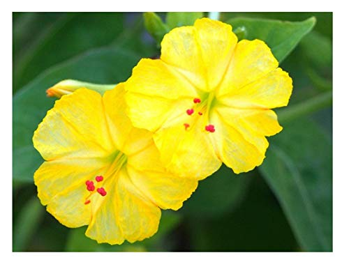 4 Oclock Flowers - David's Garden Seeds Flower Four O'Clock Yellow SV218 (Yellow) 100 Open Pollinated Seeds
