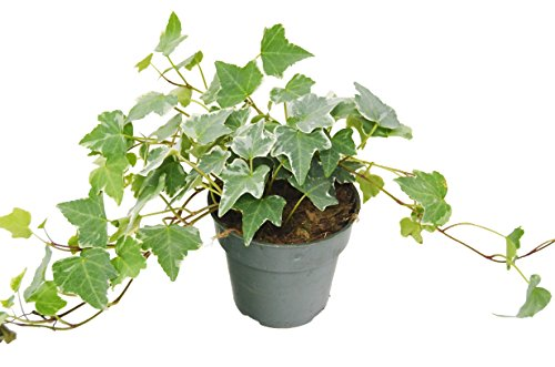 English Ivy 'Glacier' - Live House Plant - FREE Care Guide - 4'' Pot by House Plant Shop
