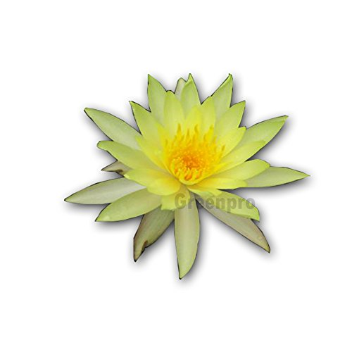 Live Aquatic Plant Nymphaea Luang Bang Phra Yellow Hardy Water Lilies Tuber for Aquarium Freshwater Fish Pond by Greenpro by GreenPro