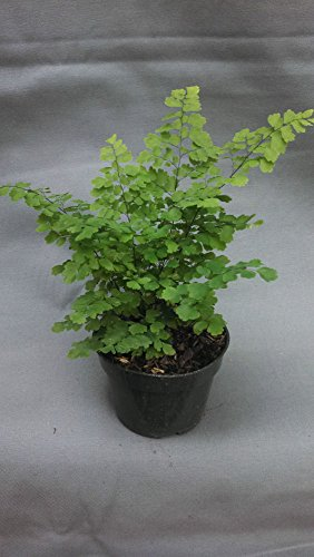 "Live Fritz Maid Fern Plant - Delta Maidenhair Fern Fit 4"" Pot Easy to Grow"