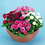 VISTARIC 4: Bright Colors Vigorous Garden New Beautiful Daisy English - 500 Seeds - POMPONETTE Mix - Bellis PERENNIS 4