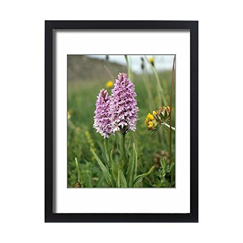 Framed 24x18 Print of Common spotted orchid K991351 ()