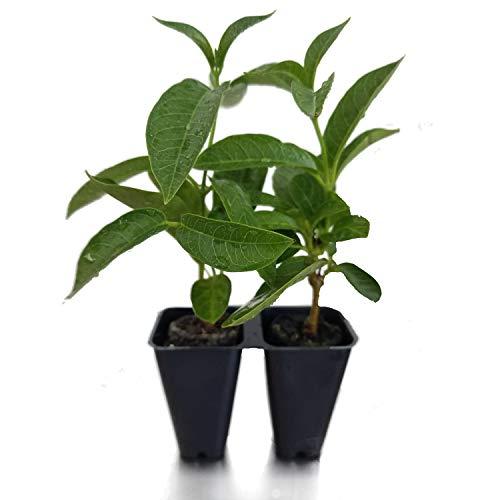 Sandys Nursery Online Mandevilla- 'Apricot' Sun Parasol Lot of 2 ~ Starter Plants~ by Sandys Nursery Online (Image #5)