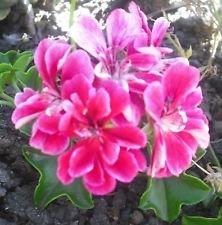 Dress Pelargonium Plant 1 Geranium Ivy x Red 4qaFpCa