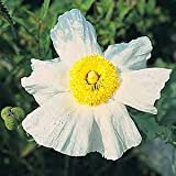 Romneya coulteri 100 seeds