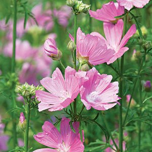 Amazon Malva Musk Mallow Seeds Perennial Flower Plant 40 Seeds