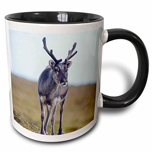 (3dRose Danita Delimont - Deer - Norway, Spitsbergen, St. Jonsfjorden. Svalbard reindeer buck on tundra - 15oz Two-Tone Black Mug (mug_205343_9))