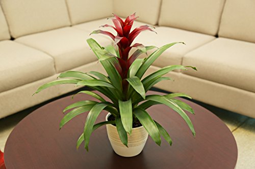 Costa Farms, Premium Live Indoor Red Bromeliad, Guzmania, Tabletop Plant, Scheurich Cream Ceramic Decorator Pot, Shipped Fresh from Our Farm, Excellent Gift by Costa Farms (Image #4)