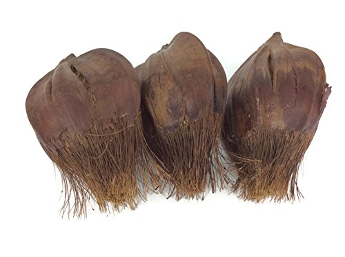 Arenga Pinnata Palm Seeds Large Craft Handmade Wedding Decorative 3 Pieces (Wastebasket Scroll)