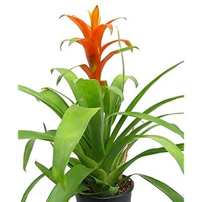 Orange Jazz Blazing Star Vase Plant - 4